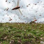 L'Éthiopie lance des avions et hélicoptères pour lutter contre une deuxième invasion des criquets